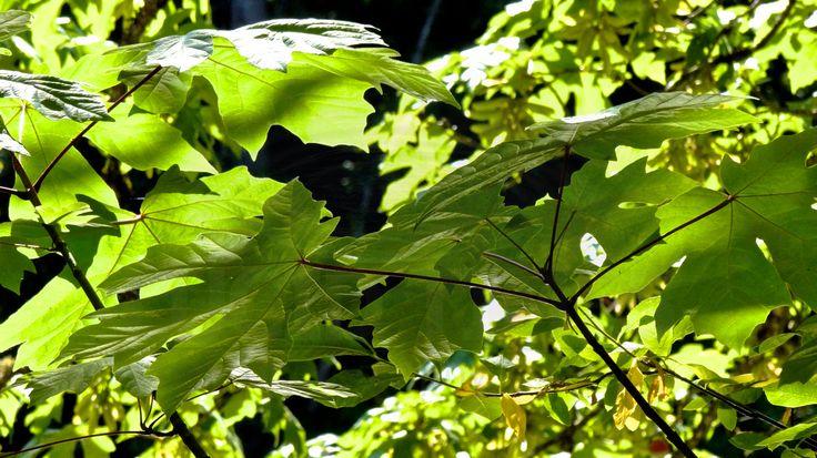 Backlight dappled Maple Tree leaves wrap around the old Cedar Bridge foundation