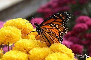 Butteryfly Kisses by Trillium Art  www.trilliumart.ca