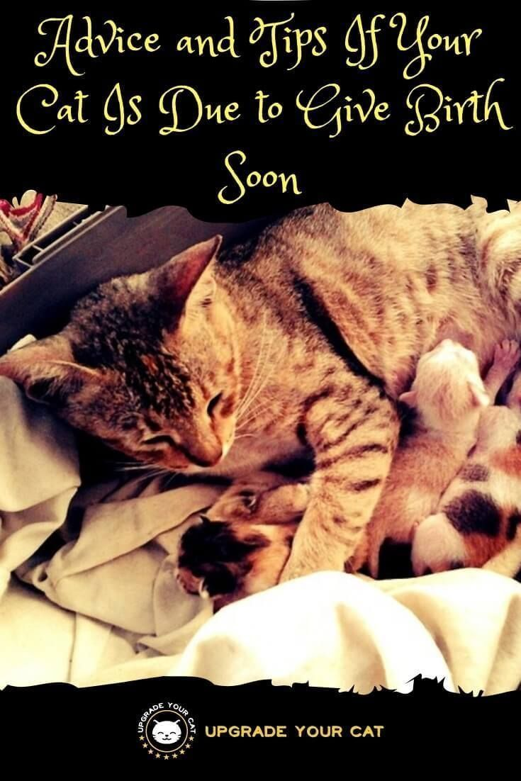 Cat Giving Birth For The First Time Read This Upgrade Your Cat In 2020 Cat Birth Cat Having Kittens Pregnant Cat