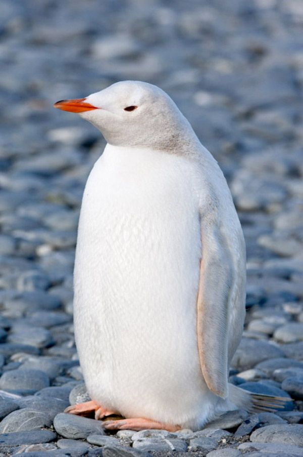 Albino penguin ~ I want one! When a penguin finds a mate they stay with that mate till they die! I wish I was a penguin