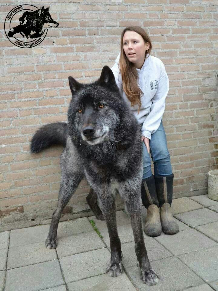 large wolf hybrids | Pinned by April Chantrenne
