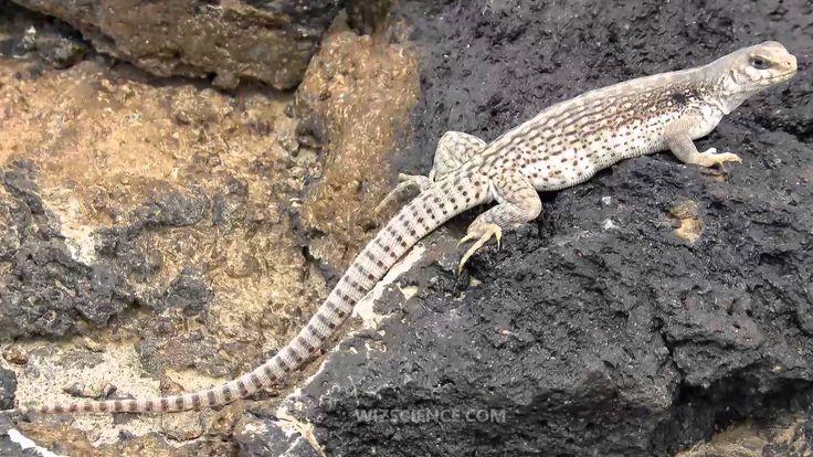 Похожее изображение Desert animals, Common lizard