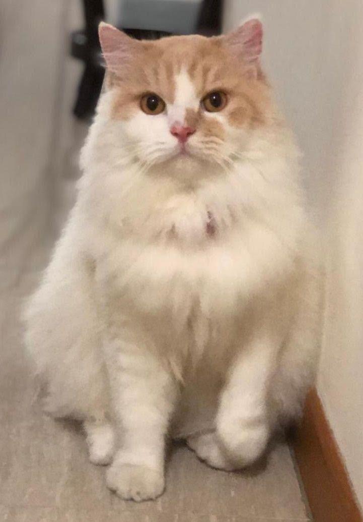 Have You Seen Max A Persian Cat Lost At Punggol In 2020 Persian Cat Beautiful Cat Cats