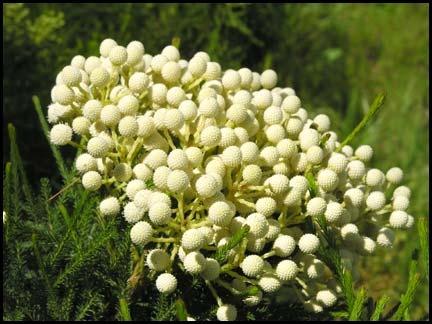 white berzelia berries - Google Search