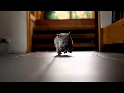 Cutest little baby wombat. Best 4 seconds ever....