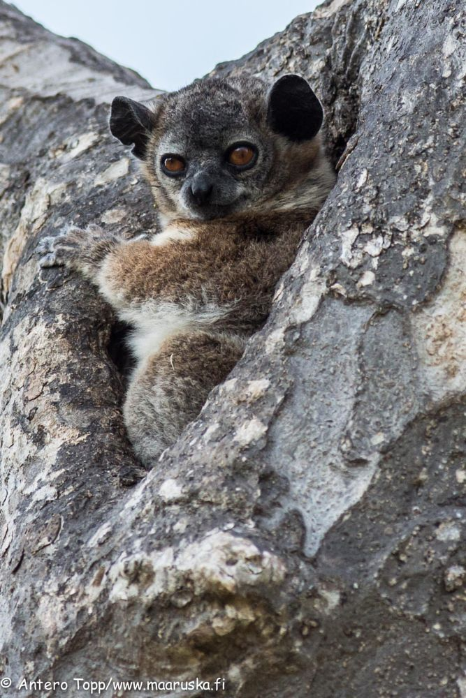 Cute lemur by Antero Topp