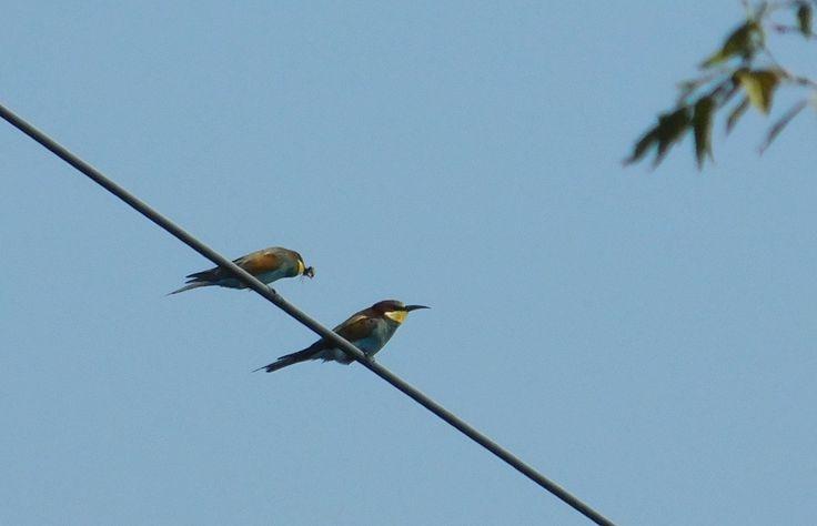 Vlha pestrá - Merops apiaster ... před odletem na jih.