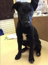 Oreo is an adoptable Labrador Retriever Dog in Coquitlam, BC.  Primary Color: Black Secondary Color: White Age: 0yrs 1mths 2wks...