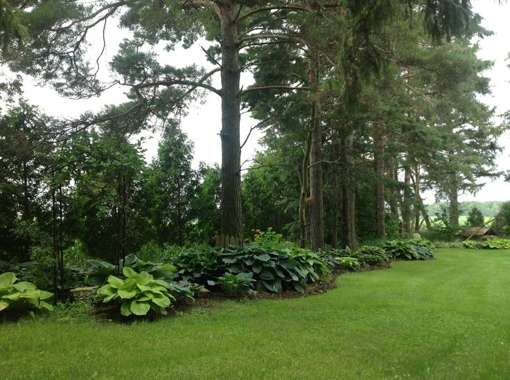 Pine Trees Edged With Hostas Gardening Garden Shade