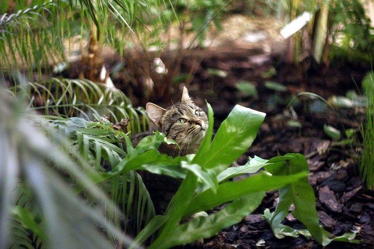 Оранжерейный  котик.  Всегда  в  джунглях.