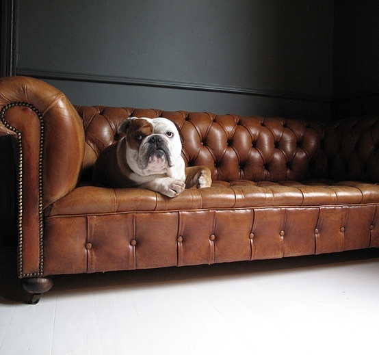 .Puppies, Old English, Leather Couch, Leather Sofas, English Bulldogs, Pets, Chesterfield Sofas, Man Caves, Bull Dogs