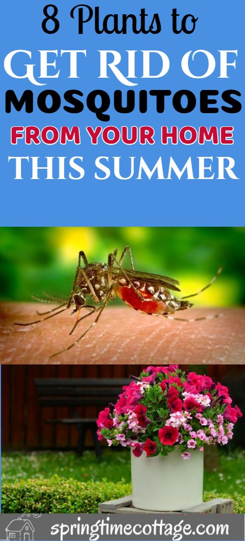 Use these plants to get rid of mosquitoes and make your ...