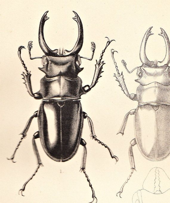 Vintage Print Scarabs Odontolabis siva Entomology 1885 Beetles