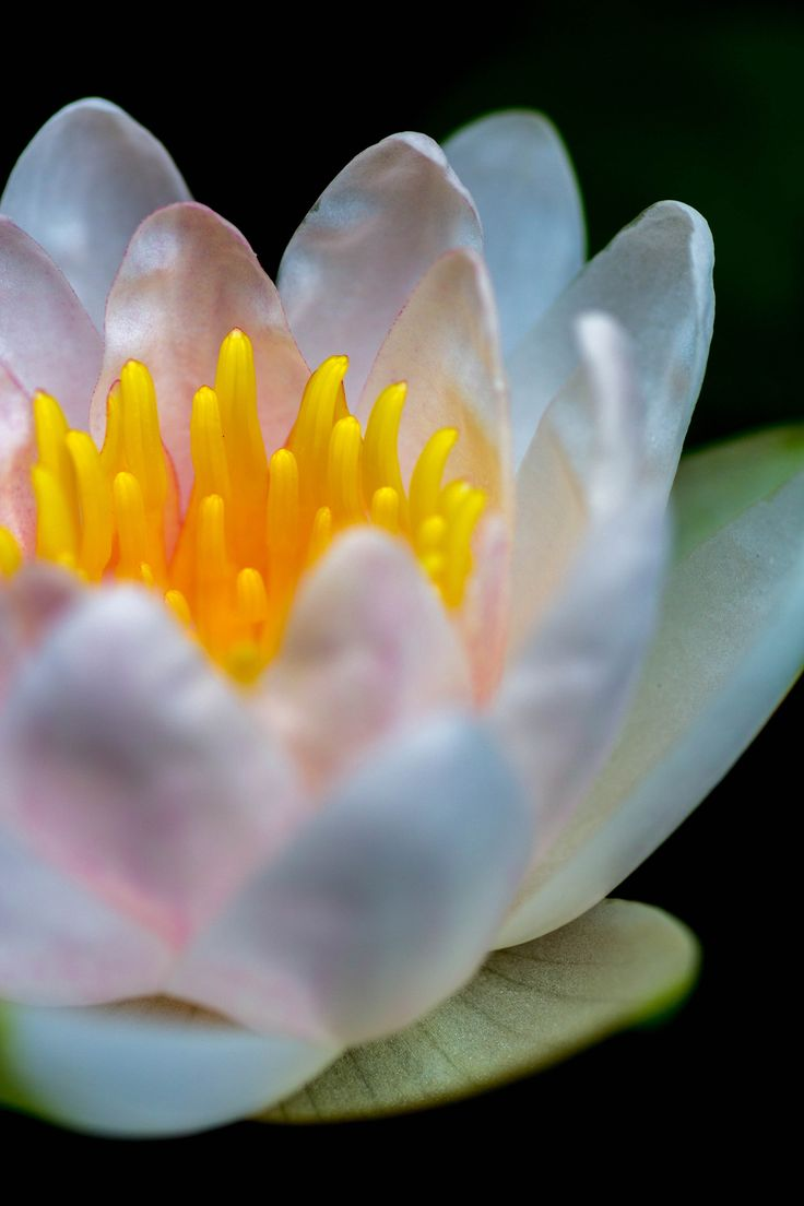 water lily by ryosho shimizu on 500px