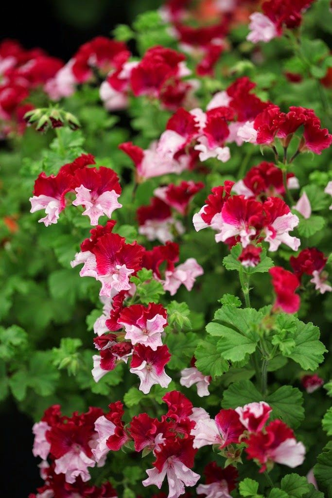 125 best images about geraniums pelargoiums on pinterest washington leaves and geranium care - How to care for ivy geranium ...