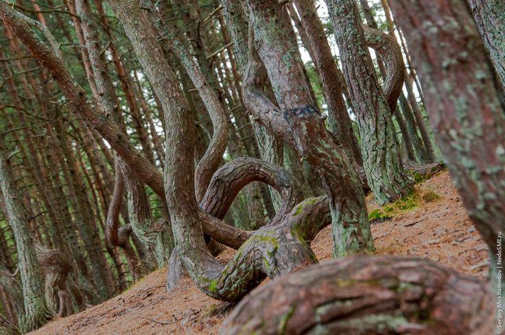La forêt dansante de Kaliningrad, Russie. - . Située en Russie à Kaliningrad, The Dancing Forest (la forêt dansante) est une forêt de pins qui, pour la plupart, ont subi une torsion en forme de cercles et spirales. Aucune explication à ce jour ne permet d'élucider ce phénomène. Toutefois, la théorie la plus aisément admise est que les arbres de la forêt ont été façonnés par les vents puissants qui soufflent dans la région.