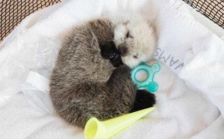 An apparently abandoned sea otter pup featured Friday in a Vancouver Aquarium video is recovering after being rescued by boaters.