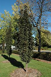 Click to view full-size photo of Purple Spire Columnar Crabapple (Malus 'Jefspire') at Cannor Nurseries
