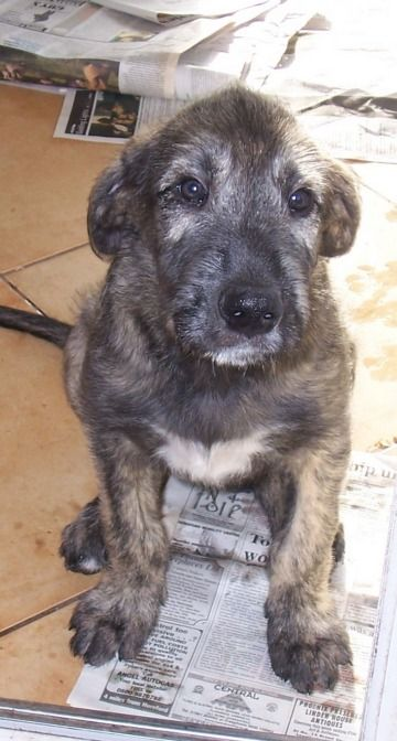 Irish Wolfhound Puppies ~ did you know they can weigh as much as human, when fully grown and can  even weigh as much as 100lb at just 6 months old!