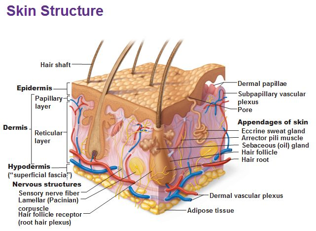 Image result for skin structure image