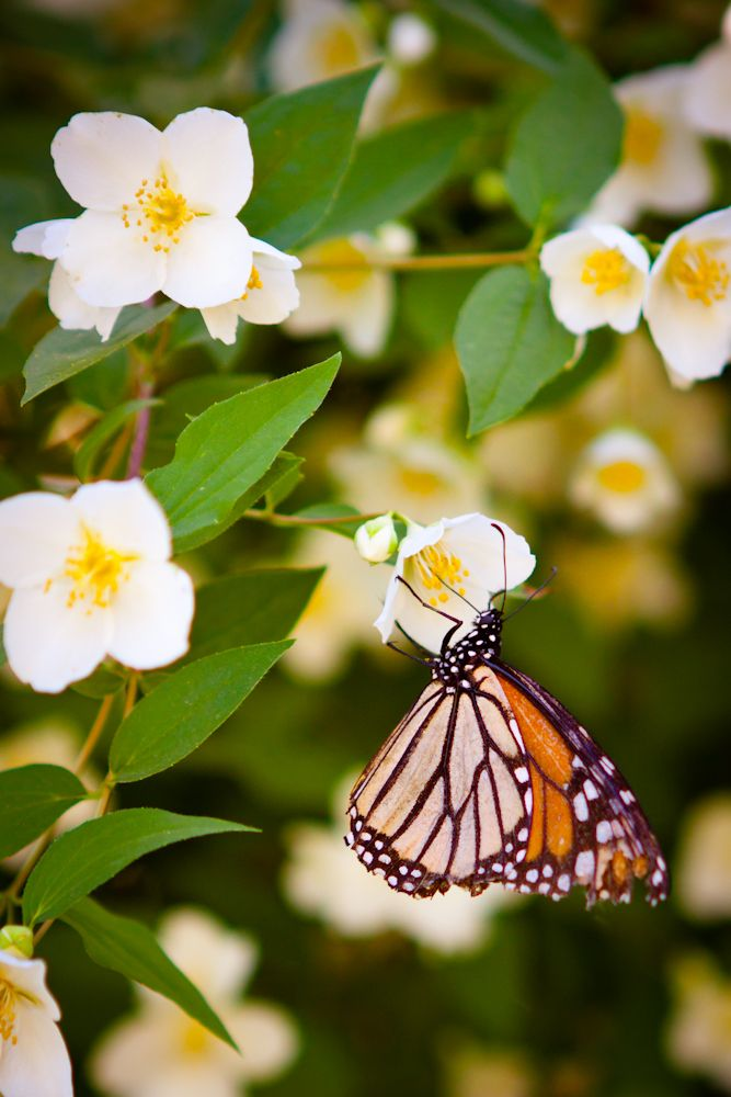 want to get a mock orange bush for the yard...tons of BUTTERFLIES!! (meg of whatever photo)