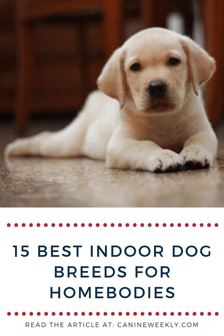 15 Best Indoor Dogs For Homebodies Low Shedding Dog Breeds