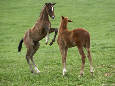 Two Thoroughbred Colt Foals, Playing, Virgina...omg I am so totally gonna melt looking at them!