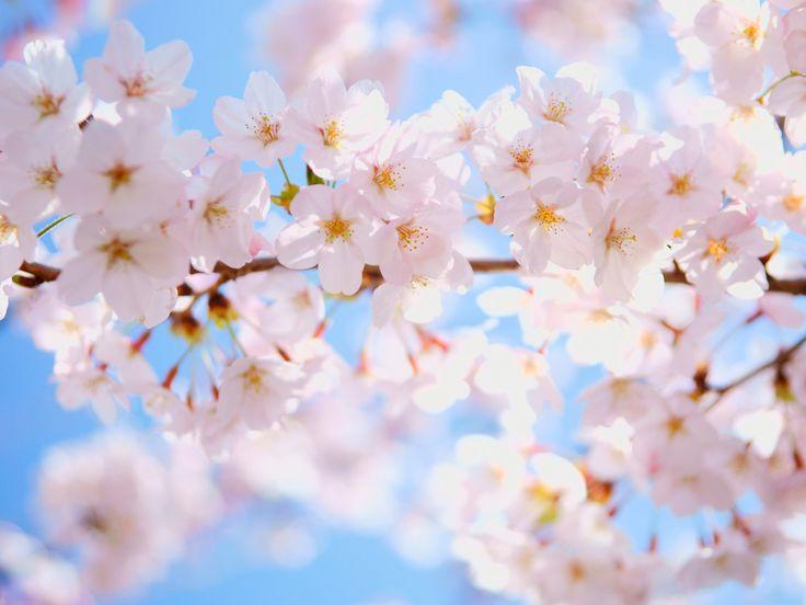 サクラ(桜)7|無料写真素材ならフリー素材タウン