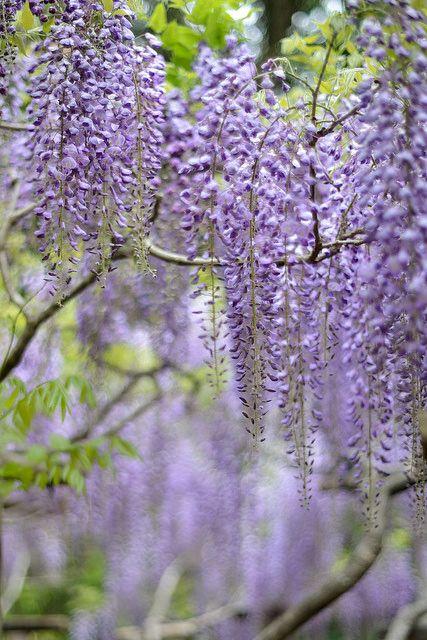 Pretty Purple Wisteria