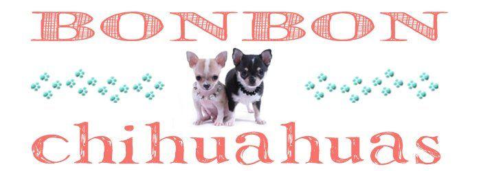 Houston Texas Chihuahua Breeder Chihuahua Puppies Chihuahua