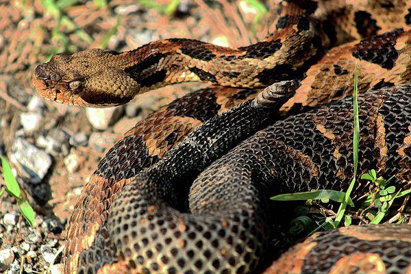 rattlesnake, timber rattlesnake, canebrake rattlesnake, cane brake, break, crotalus, crotalus horridus, pit viper, pitviper, southern, snake, snakes, rattle snake, north carolina, alabama, virginia, al, va, nc, rattler, venom, venomous, poisonous, poisonous snakes, venomous snakes of kansas,poisonous snakes of kansas,closeup,close up,