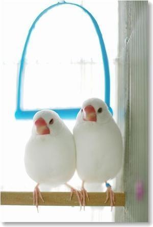 お友達の家の餅文鳥