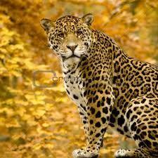 Panthera onca onca - Google zoeken. Komt voor in Midden en delen van zuid Amerika