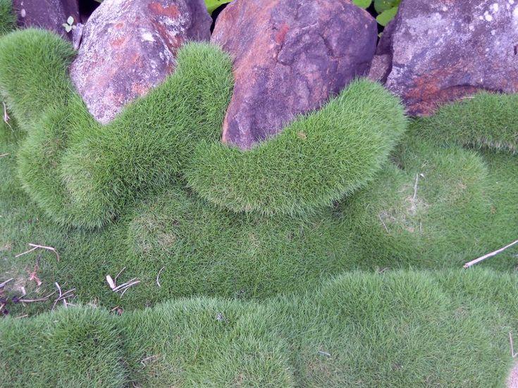 No Mow Grass Zoysia Tenuifolia Garden Hanging