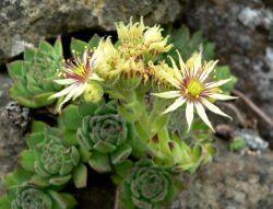 Hartstaklök (Sempervivum grandiflorum) är art i familjen fetbladsväxter från södra Schweiz och norra Italien. Arten bildar lätt hybrider med andra taklökar.