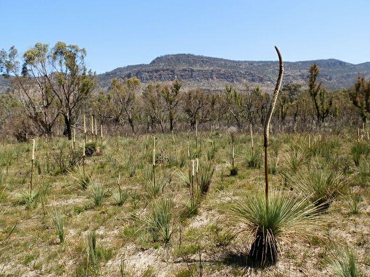 Grass Trees (#Xanthorrhoea) in the Victoria Valley, #Grampians, #Australia