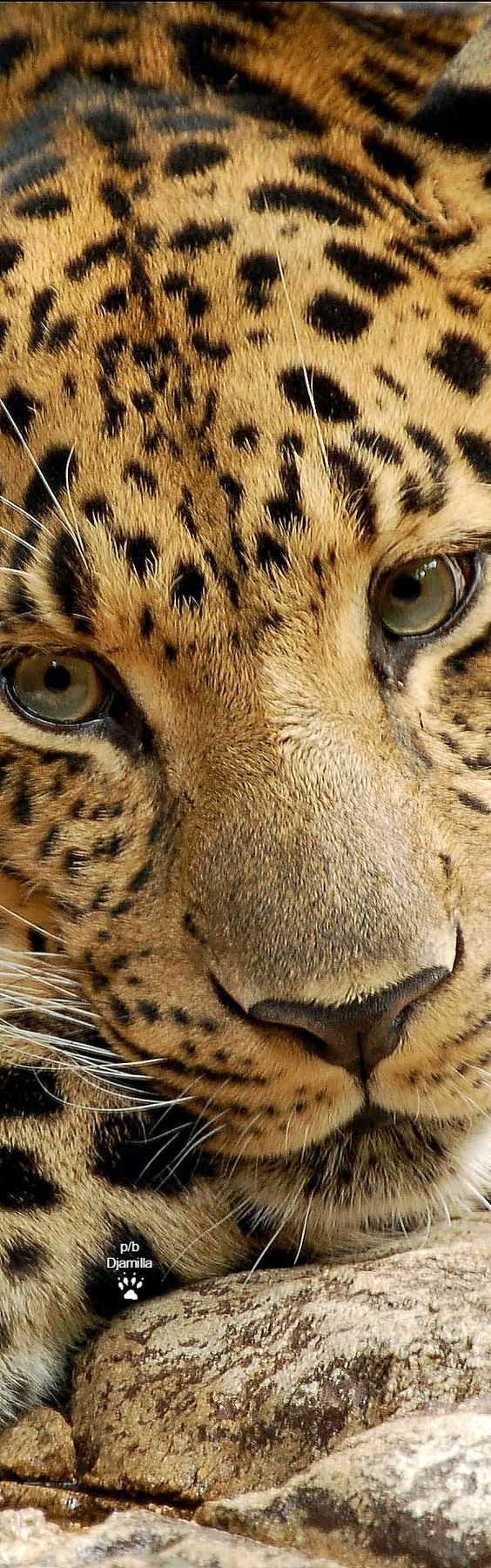 Leopard face closeup visit here to learn more about some of the big cats the