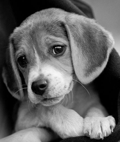 sweet puppy..until they grow up,bark all the time,  and chew up all your stuff-still love them!