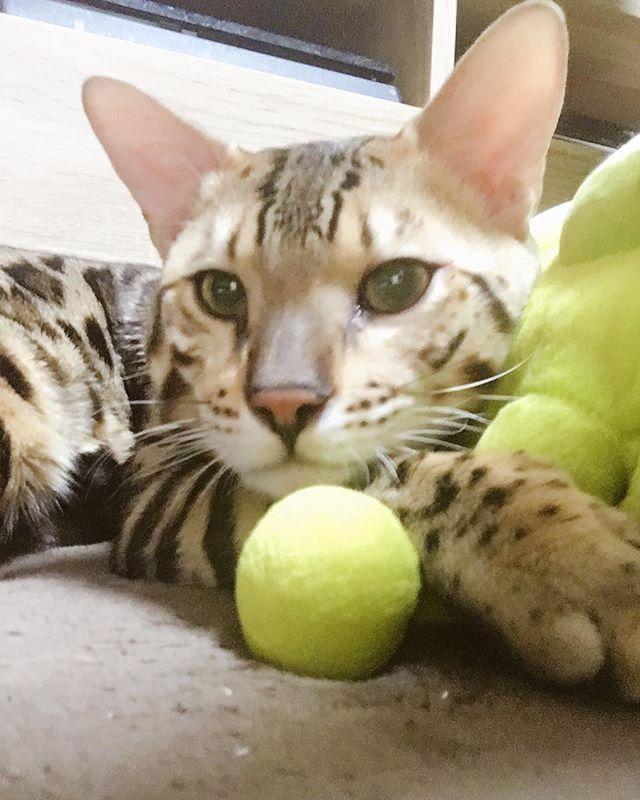 猫のしつけって難しい😭 昔から犬がいる環境で、割と犬って従順だし、ダメって言ったらやらないし 猫は正反対ってか どうしつけたらいいかわかんない。。笑 . そもそも猫にしつけって無理?笑 . 今日はちょっとあまりにもイラッとしててお尻ペン🤚っと叩いてしまった😨 反省、、😓 こんなに可愛いのに悪さするときは悪魔だ😭笑 . . #ベンガル #ベンガル猫#bengal #bengalcat #猫 #cat #子猫 #kitten#bengalkitten#bengalworld#にゃんすたぐらむ #ねこすたぐらむ#catstagram #猫部 #ねこ部 #子猫部 #こねこ部 #愛猫 #多頭飼い#brownspotted #silverspotted #ブラウンスポテッドタビー #シルバースポテッドタビー #みんねこ #ねこ好き #親バカ #溺愛 #王子 #姫