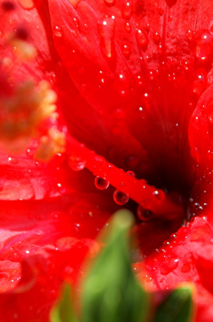 dive in a hibiscus rosa-sinensis flower