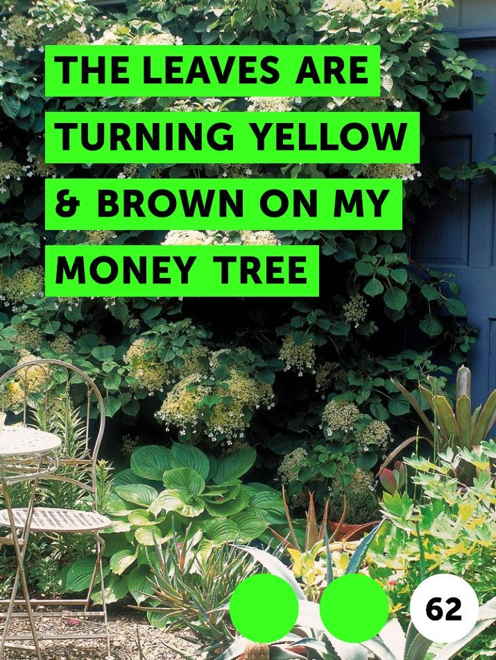 Learn The Leaves Are Turning Yellow Brown On My Money Tree How To Guides Tips And Tricks Plants Bermuda Grass Growing Tree