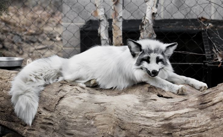 32 Best Marble Fox Images On Pinterest Wild Animals Fox