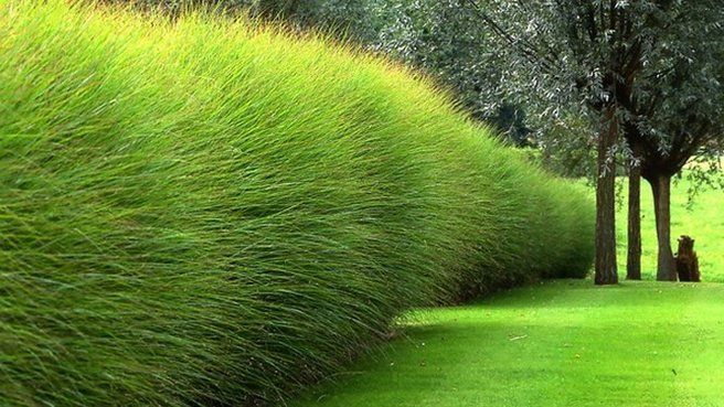 A garden near Antwerp, Belgium, designed by landscape architect Piet Blanckaert is a masterpiece of texture and geometry, using a palette of only eight plants, including Miscanthus sinensis 'Gracillimus', which forms this feathery wall.