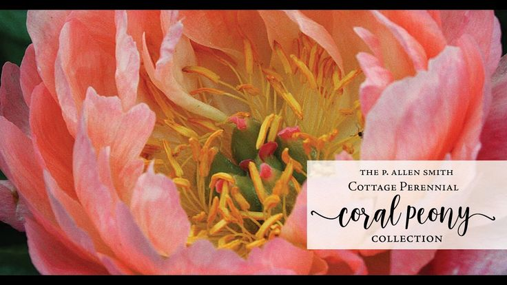 P. Allen Smith Cottage Perennial Coral Peony Collection