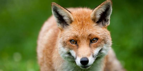 STOP BUCKS COUNTY SHOW FROM PROMOTING FOX HUNTING! http://www.thepetitionsite.com/de-de/takeaction/564/084/639/