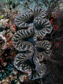 The giant clam, Tridacna gigas, is the largest living bivalve mollusc. T. gigas is one of the most endangered clam species.