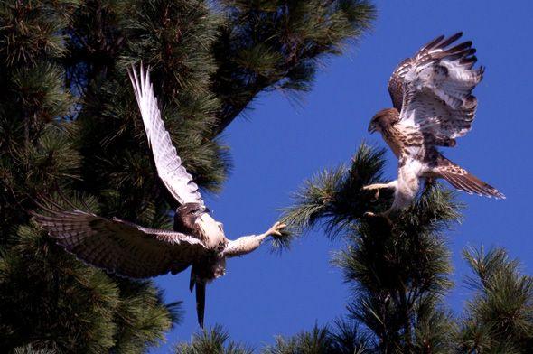 High Park Nature | Birds / High Park Hawk Watch