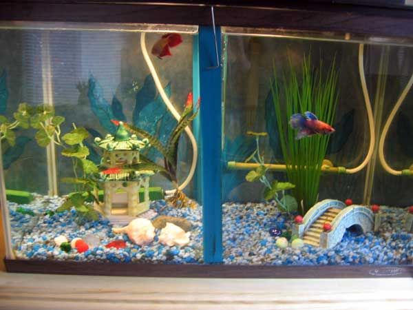 How to make a divided tank for betta fish betta fish for Divided fish tank