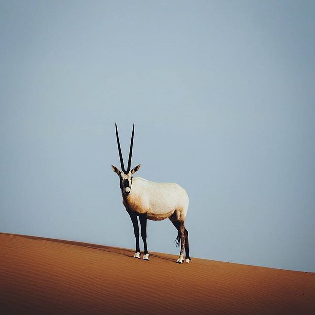 With its long, straight horns and distinct white shape, the Arabian Oryx makes a regal statement against the golden sand dunes of Dubai, and is considered the national animal of the UAE. 🐐