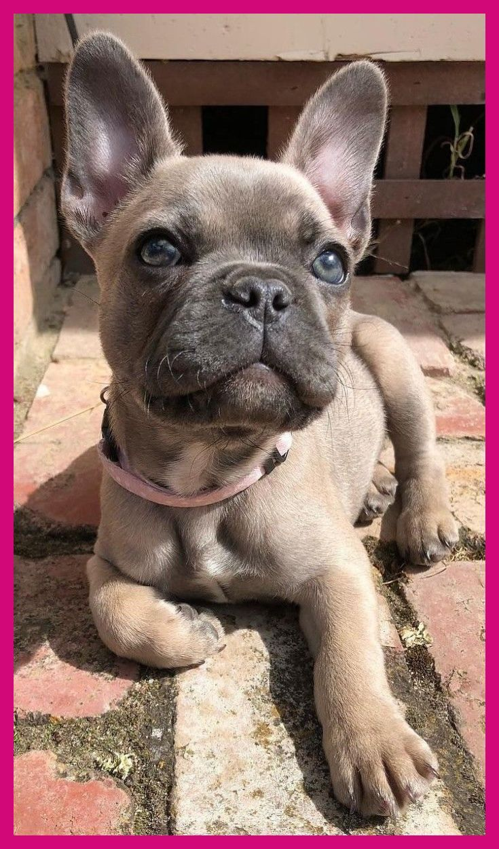 French Bulldog Frenchie Sweet Little Girl Funnybulldog French Bulldog Frenchie Swee In 2020 Super Cute Puppies Cute Animals Cute Little Animals